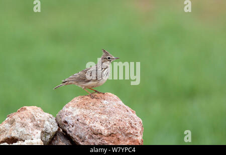 Crested Lark (Galerida cristata) perched on rock, Spain, March. - Stock Photo