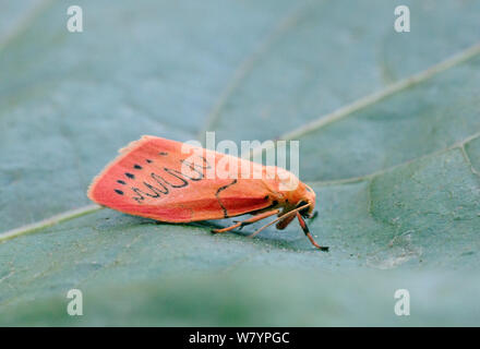 Rosy footman moth (Miltochrista miniata) on leaf, Wiltshire, UK, July. - Stock Photo