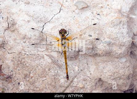 Black darter dragonfly (Sympetrum danae) female Moreden Bog, Dorset, UK, August. - Stock Photo