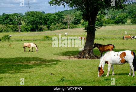 Horses graze in the grass under the trees on a summer day at Bury Farm, Edgwarebury lane, Edgware, Greater London, UK. - Stock Photo