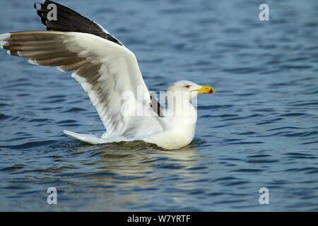 Lesser black-backed gull (Larus fuscus) landing on sea. Norfolk, England, UK. December. - Stock Photo