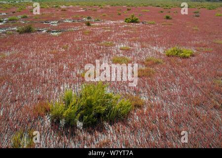 Glaucous glasswort (Arthrocnemum glaucum) and glasswort (Salicornia sp), Camargue, France, July. - Stock Photo