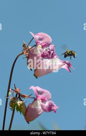Common carder bumblebee (Bombus pascuorum) visiting Himalayan balsam flowers (Impatiens glandulifera), Cornwall, UK, June. Stock Photo