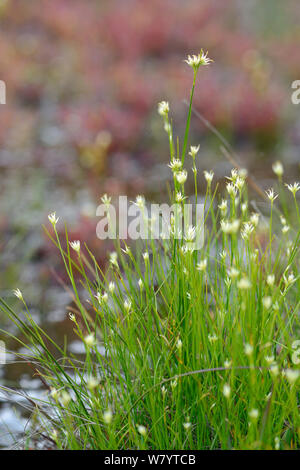 White beak-sedge (Rhynchospora alba) clump flowering in a boggy pool, Stoborough Heath, Dorset, UK, July. - Stock Photo