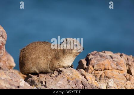 Rock hyrax (Procavia capensis) basking on coastal rocks, South Africa, December. - Stock Photo