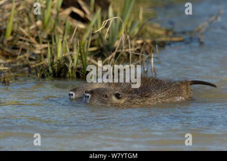 Coypu (Myocastor coypus) juveniles in water, Vendee, France, February. - Stock Photo