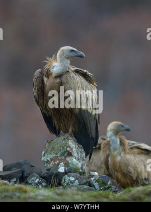 Griffon vulture (Gyps fulvus) perched on rock, Rhodopes, Bulgaria, January. - Stock Photo
