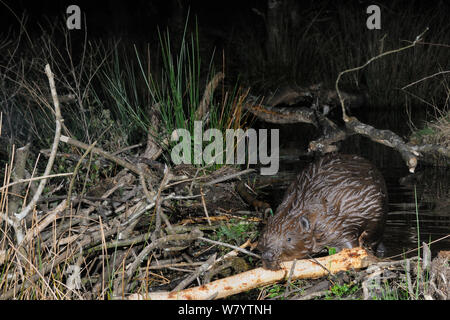 Eurasian beaver (Castor fiber) placing a branch stripped of bark on its dam in woodland enclosure at night, Devon Beaver Project, run by Devon Wildlife Trust, Devon, UK, April. Taken by a remote camera trap. - Stock Photo