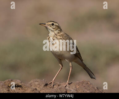 Grassland pipit (Anthus cinnamomeus lacuum) Lake Manyara National Park, Tanzania - Stock Photo