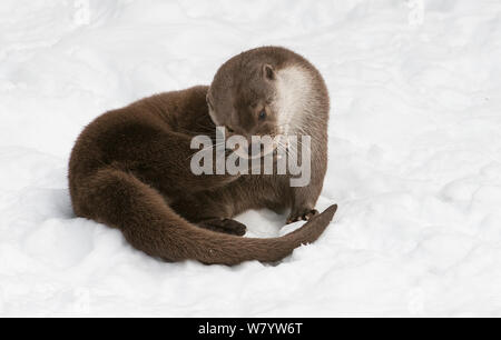 Eurasian otter (Lutra lutra) sitting and grooming in snow. Captive, Bavarian Forest National Park, Bavaria, Germany. February. - Stock Photo