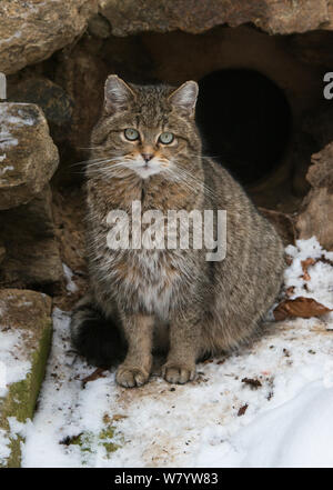 Wild cat (Felis silvestris) outside its den with snow. Captive at Bavarian Forest National Park, Bavaria, Germany. February. - Stock Photo
