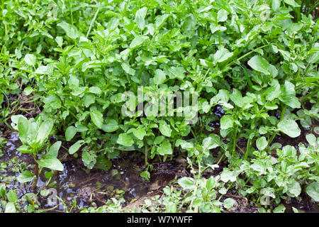 Watercress (Nasturtium officinale) growing wild in stream. Sussex, UK. June. - Stock Photo