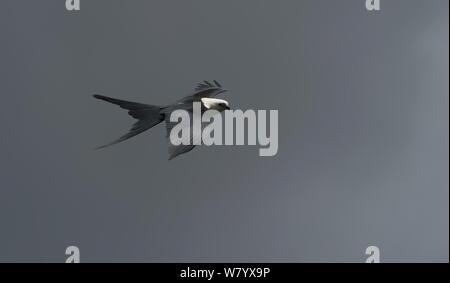 Swallow-tailed kite (Elanoides forficatus) in flight, Ecuador - Stock Photo