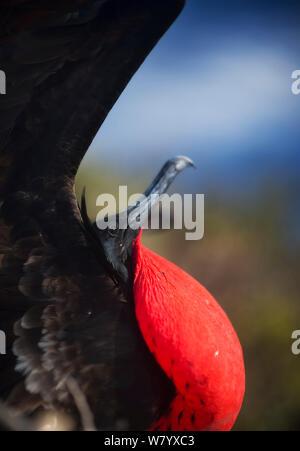 Great frigatebird (Fregata minor ridgwayi) displaying at  breeding area, Genovesa Island, Galapagos Islands. - Stock Photo