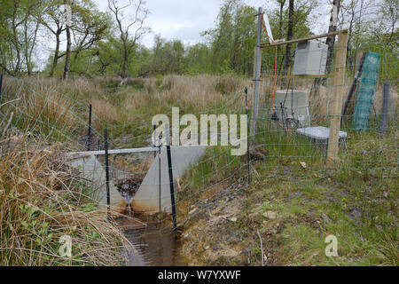 V-dam measuring station monitoring water flow and quality below a series of dams built by Eurasian beavers (Castor fiber) within  enclosure, Devon Beaver Project, Devon Wildlife Trust, Devon, UK, May. - Stock Photo