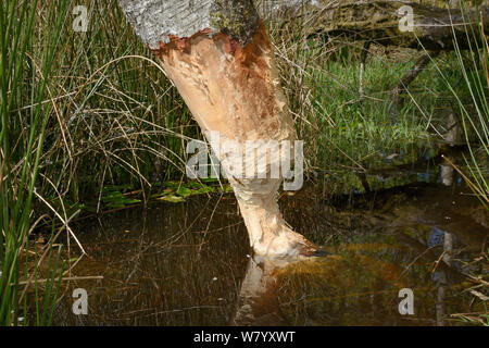 Downy birch tree (Betula pubescens) heavily gnawed by Eurasian beavers (Castor fiber) and close to being felled, in  large enclosure, Devon Beaver Project, Devon Wildlife Trust, Devon, UK, May. - Stock Photo