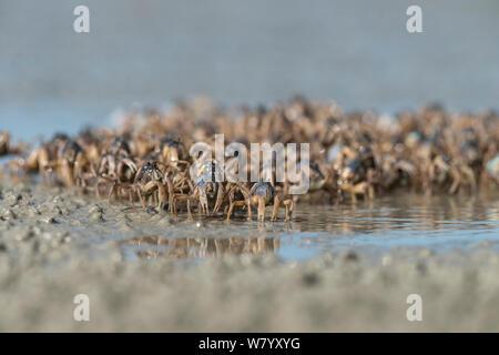 Soldier crabs (Mictyris longicarpus) group on beach, Far North Queensland, Australia. - Stock Photo