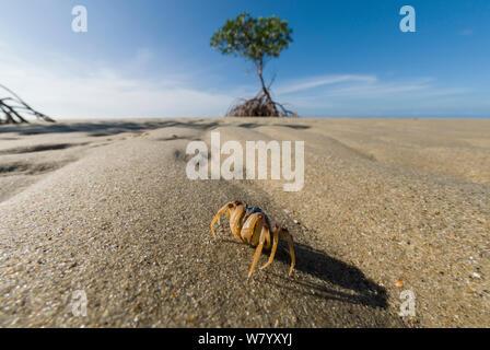 Soldier crab (Mictyris longicarpus) on beach, Far North Queensland, Australia. - Stock Photo