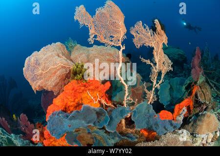 Bright orange sponge and massive gorgonian (Alcyonacea) fan corals in the reef. Kimbe Bay, West New Britain, Papua New Guinea. - Stock Photo