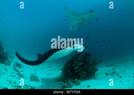 Giant manta rays (Manta birostris) at a cleaning station with cleaner wrasses. North Raja Ampat, West Papua, Indonesia - Stock Photo