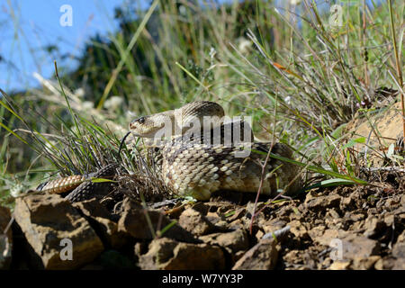 Black-tailed rattlesnake (Crotalus molossus) tasting the air, Arizona, USA, September. Controlled conditions - Stock Photo