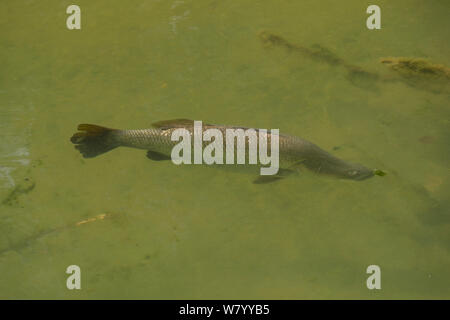 Barramundi (Lates calcarifer) Oolioo Sandbar, Territory Wildlife Park Berry Springs, Northern Territory, Australia. - Stock Photo
