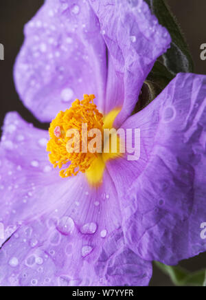 Cistus albidus the gray-leaved cistus plant with a large pink cerulean flowers with rain water droplets natural light - Stock Photo