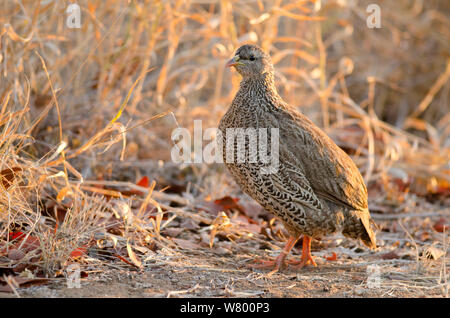 Natal spurfowl (Pternistis natalensis), Kruger National Park, South Africa, July. - Stock Photo