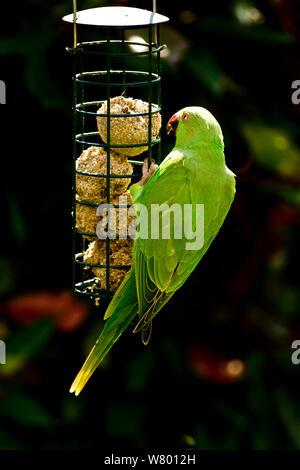 Rose-ringed or ring-necked parakeets (Psittacula krameri) on bird feeders in urban garden.  London, UK, February. - Stock Photo