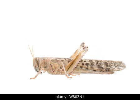 Desert locust (Schistocerca gregaria) female captive, September, The Netherlands, Meetyourneighbours.net project - Stock Photo