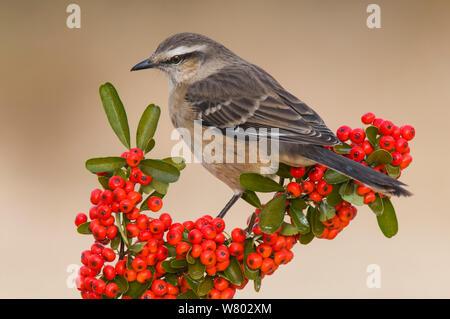 Chalk-browed mockingbird (Mimus saturninus) Calden Forest , La Pampa, Argentina - Stock Photo
