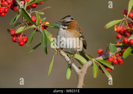 Rufous-collared sparrow (Zonotrichia capensis) perched amongst berries, Calden forest, La Pampa, Argentina. - Stock Photo
