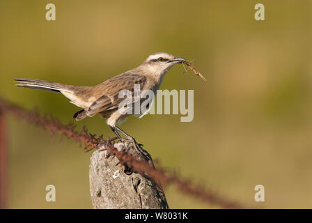Chalk-browed mockingbird (Mimus saturninus) with stick insect prey, La Pampa, Argentina - Stock Photo