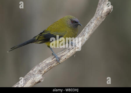 Adult New Zealand bellbird (Anthornis melanura) perched on a branch in the understorey. Orokonui Ecosanctuary, Otago Peninsula, South Island New Zealand. January.  Endemic Species. - Stock Photo
