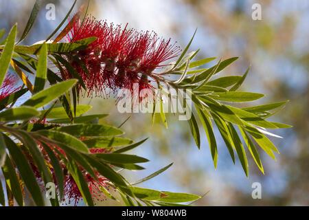 Weeping bottlebrush tree (Callistemon viminalis) cultivated plant occurs in Australia. - Stock Photo