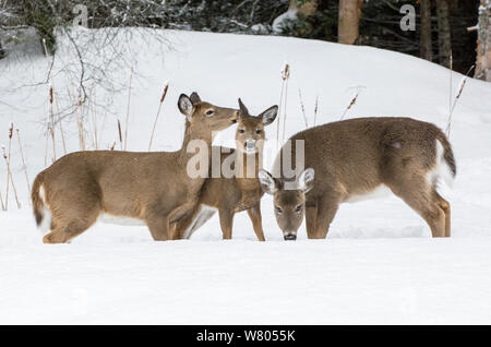White-tailed deer (Odocoileus virginianus) females grazing in snow,  Acadia National Park, Maine, USA. February. - Stock Photo