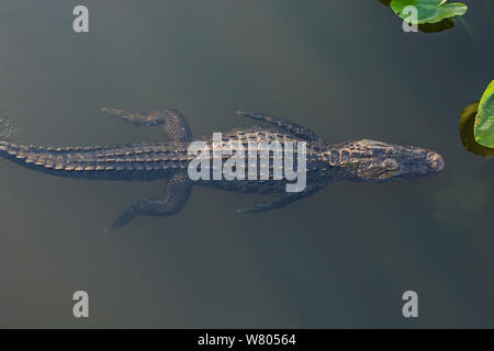 American alligator (Alligator mississippiensis) swimming, viewed from above, Everglades National Park, Florida, USA, March. - Stock Photo