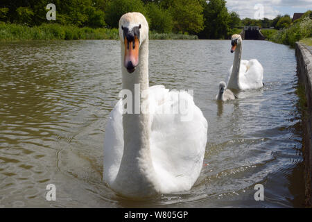 Mute swan pair (Cygnus olor) with a young cygnet approaching on the Kennet and Avon canal, Caen Hill, Devizes, Wiltshire, June. - Stock Photo