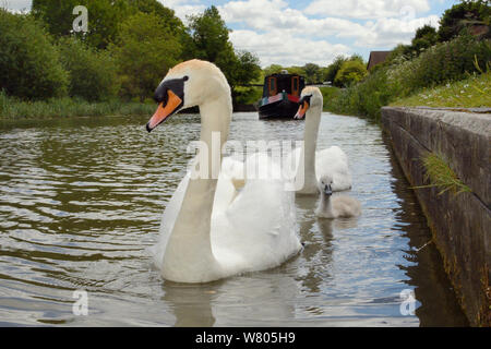 Mute swan pair (Cygnus olor) with young cygnet approaching on the Kennet and Avon canal with a barge in the background, Caen Hill, Devizes, Wiltshire, UK, June. - Stock Photo