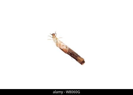 Caddisfly (Trichoptera) larva with twig case. Worcestershire, UK, May. - Stock Photo