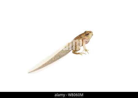 Common frog (Rana temporaria) juvenile in metamorphosis to adult,  with legs and tail,  Worcestershire, England, UK, March. - Stock Photo