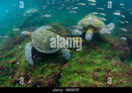 Galapagos green sea turtles (Chelonia mydas agassizi) two underwater. Galapagos. - Stock Photo
