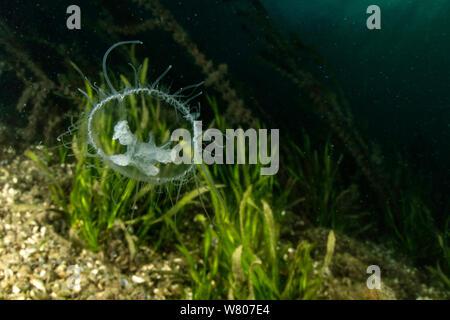 Freshwater jellyfish (Craspedacusta sowerbii) Lugano lake, Ticino, Switzerland. August. Invasive species. - Stock Photo