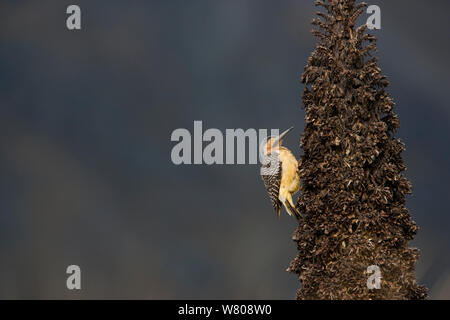 Andean Flicker (Colaptes rupicola) on trunk of Queen of the Andes (Puya raymondii) Cordillera Blanca Massif, Andes, Peru, November. - Stock Photo