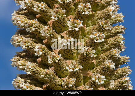 Queen of the Andes (Puya raymondii) flowers,  Cordillera Blanca Massif, Andes, Peru, November. - Stock Photo