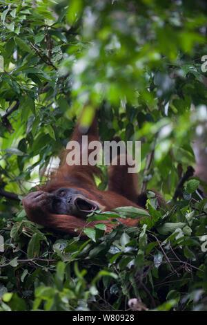 Sumatran orangutan (Pongo abelii) female in day nest,   Gunung Leuser National Park, Sumatra, Indonesia. - Stock Photo