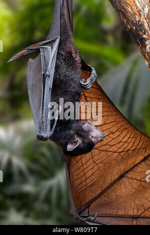 Lyle's flying fox (Pteropus lylei) native to Cambodia, Thailand and Vietnam hanging upside down, calling and stretching wing - Stock Photo