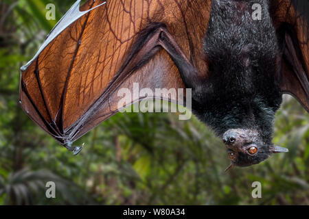 Lyle's flying fox (Pteropus lylei) native to Cambodia, Thailand and Vietnam hanging upside down and stretching wing showing veins - Stock Photo