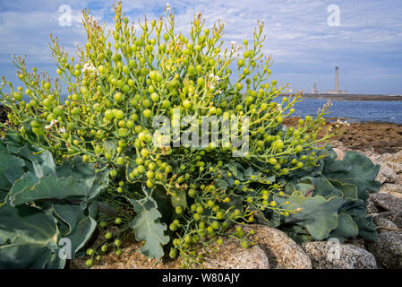Sea kale / sea cole / seakale (Crambe maritima) close up of seed pods / fruits on the beach, Pointe de Barfleur, Manche, Cotentin, Normandy, France - Stock Photo