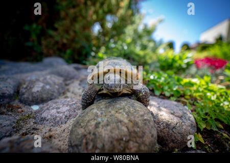 Russian tortoise exploring garden - Stock Photo